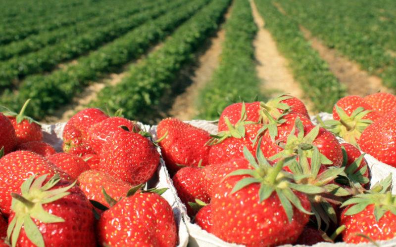 Jak uprawiać truskawki w szklarni – TSW 2018