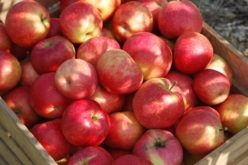 Wzrost podaży jabłek przekłada się na ich ceny