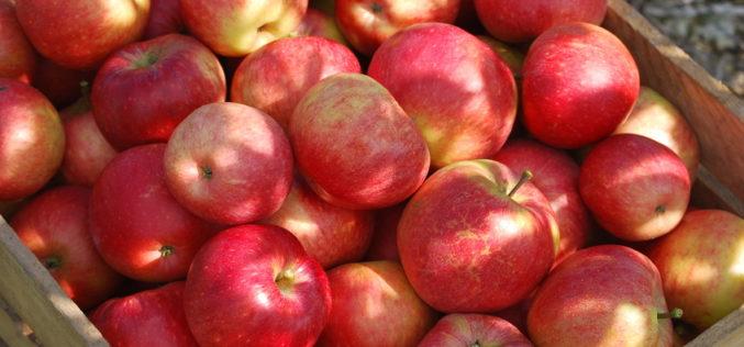Kolejny tydzień spadków cen jabłek deserowych