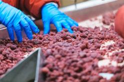 Kolejny tydzień przynosi wzrosty cen malin do przetwórstwa