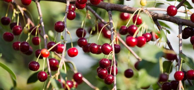 Ceny skupu przemysłowych owoców wiśni w Europie