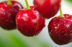 Trwający tydzień przyniósł wzrosty cen wiśni przemysłowych
