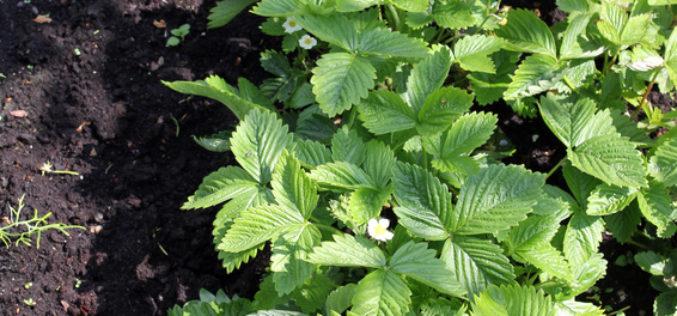 Jak rodzaju sadzonek i terminu ich sadzenia wpływa na plonowanie truskawek?