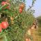 Odmiany jabłoni polecane do ekosadu