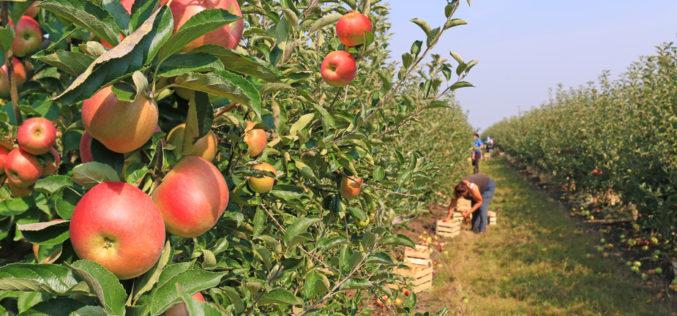 Jakie będą tegoroczne zbiory jabłek i gruszek?