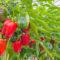 Największe zagrożenie w uprawie papryki pod osłonami?