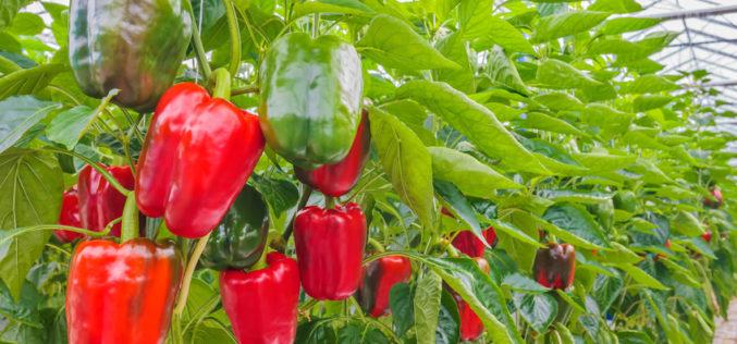 Rodzaje i metody zwalczania szkodników występujących w uprawie papryki