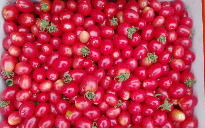 Pomidory koktajlowe nowym sposobem na biznes?