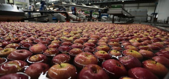 Ceny jabłek przemysłowych drożeją z tygodnia na tydzień