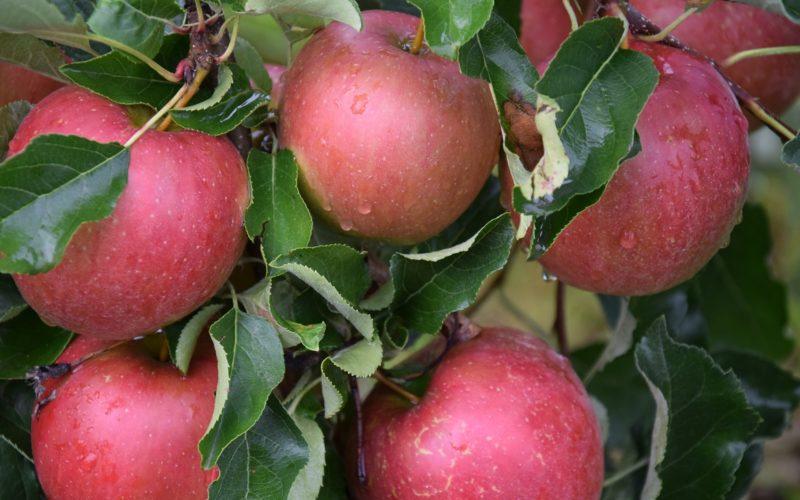 Ceny jabłek idą w górę