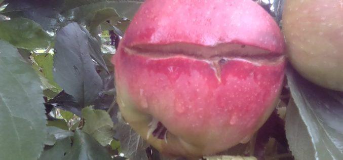 Straty jakościowe w sadach jabłoniowych
