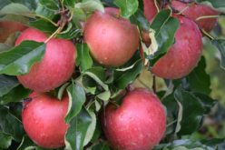 Stagnacja na rynku jabłek