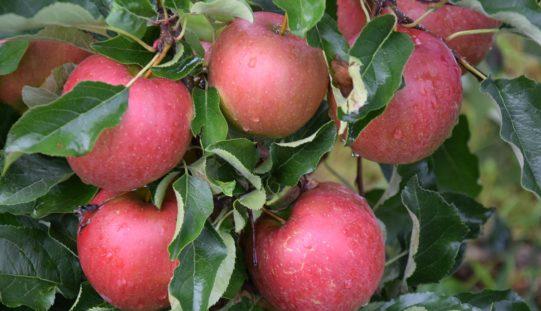 Spadki cen na rynku jabłek
