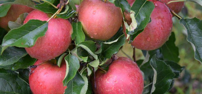 Rośnie podaż jabłek, a co z ich cenami?