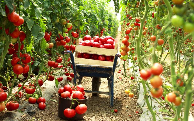 Choroby bakteryjne w uprawie pomidora – lekceważyć czy zapobiegać?