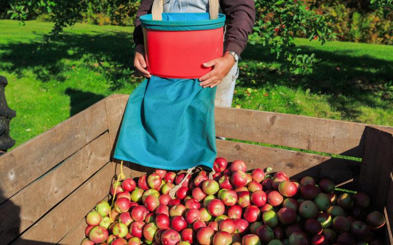 Zbiory jabłek w pełni, a co z cenami?