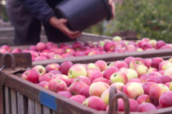 ARiMR ogłosiła współczynnik przydziału na wycofanie owoców z rynku