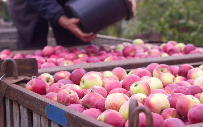 Duża rozpiętość cen jabłek, nie nastraja optymistycznie sadowników?