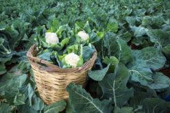 Trudny sezon dla producentów brokułów i kalafiorów