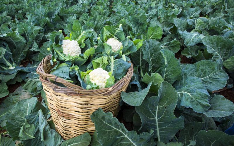 O uprawie kalafiorów i brokułów na TSW 2018