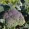 Brokuły na trudne warunki