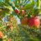 Efektywne wykorzystanie czynników produkcji gwarancją sukcesu w sadownictwie?