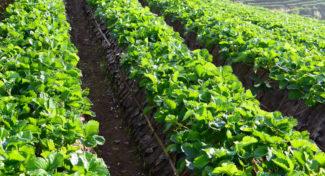 Biologiczna ochrona truskawek