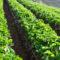 Jak powinna wyglądać dobra ochrona plantacji truskawek?