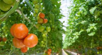 Doświetlanie a efektywność produkcji w uprawie pomidora