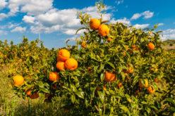 Mniejsza, światowa produkcja soku pomarańczowego