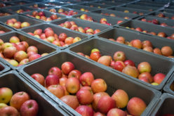 Ile jabłek przechowujemy w Polsce i UE?