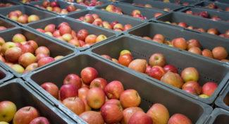 Utrzymuje się bardzo trudna sytuacja na rynku jabłek przemysłowych