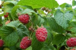 Rośnie zainteresowanie zakładaniem nowych plantacji malin na Ukrainie
