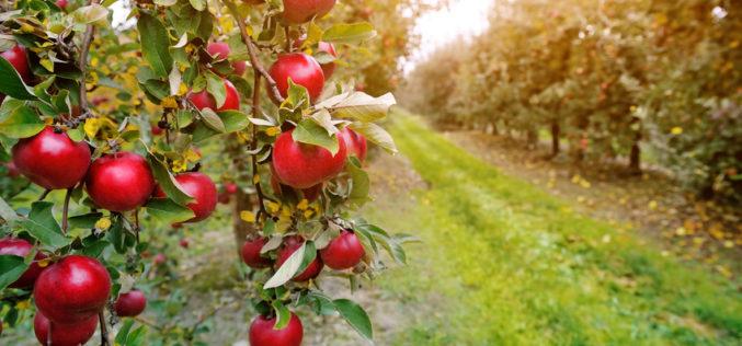 Rozpoczął się trudny sezon na rynku jabłek