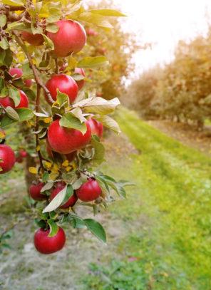 Zagrożenia w polskim sadownictwie i sposoby ich łagodzenia