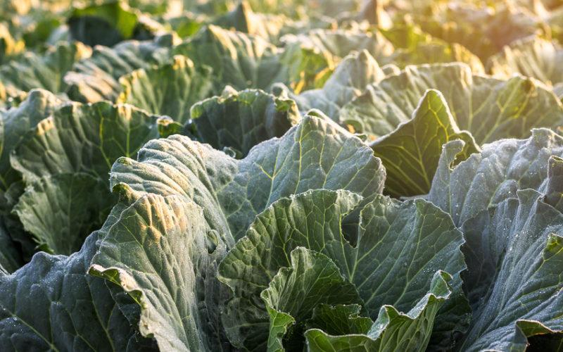 Ceny na rynku warzyw kapustnych nie zadowalają rolników