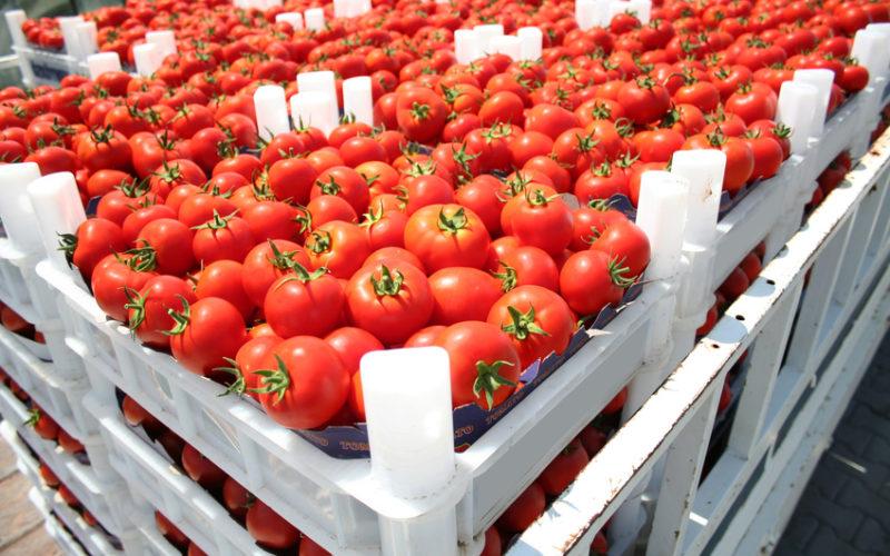 Spadek eksportu pomidorów