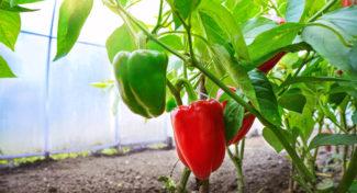 Najczęstsze problemy w uprawie papryki