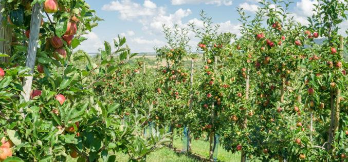 Mączniak jabłoni – jedna z najgroźniejszych chorób