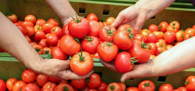 Rośnie podaż krajowych pomidorów szklarniowych