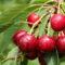 Ochrona sadów czereśniowych przed ptakami