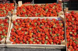 To może być trudny rok dla producentów truskawek