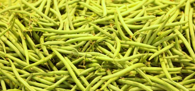 Do zakładów przetwórczych trafia fasola szparagowa przeznaczana do mrożenia