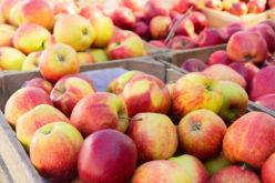 Ceny jabłek do przetwórstwa sięgają najniższych z możliwych poziomów