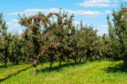 Nowe zbiory i nowe ceny jabłek