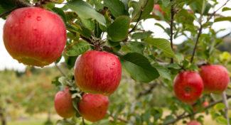 Miało być lepiej, a jest gorzej. Kto jest winny trudnej sytuacji na rynku jabłek?