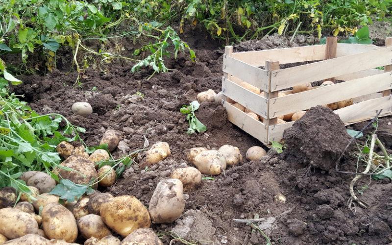 Mniej ziemniaków, wyższe ceny